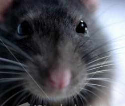 ist2_2441787_pet_rat_thinks_the_cheese_may_be_suspect.jpg
